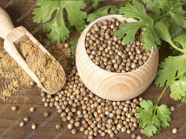 supplier coriander seeds