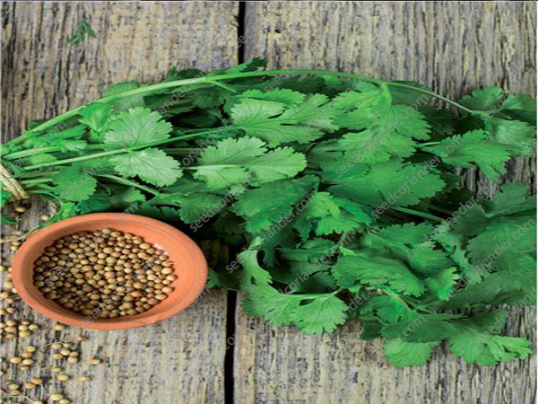 coriander seed best rate
