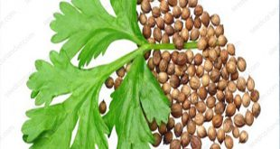 supplier coriander seed